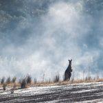 eastern-grey-kangaroo-5348449_1920