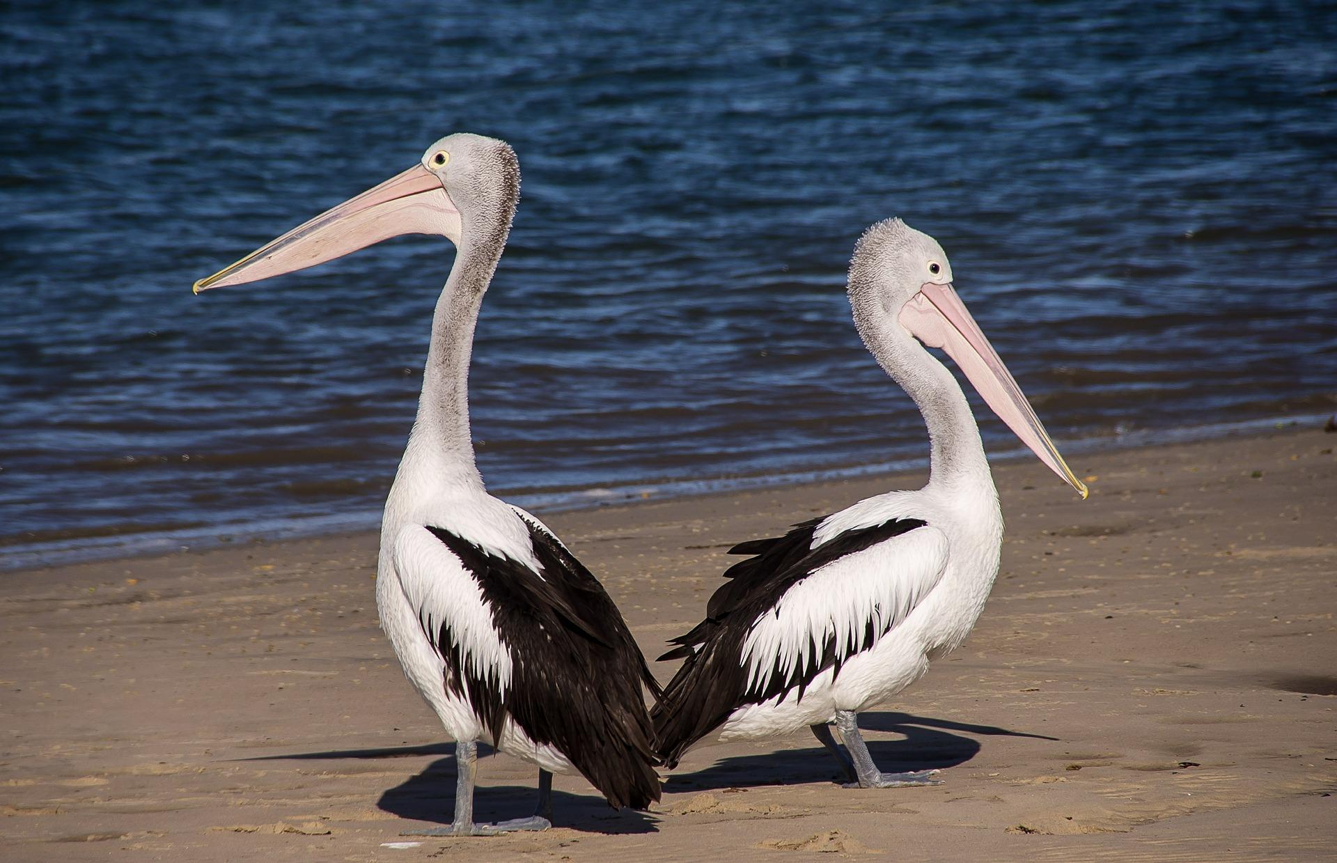 pelicans-446864_1920